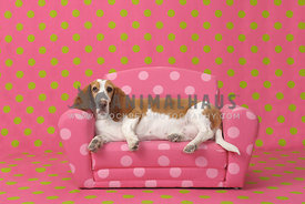 Fat basset hound lying on pink polka dot couch