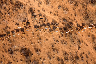 Samburu livestock illegally entering Samburu National Park searching for food and water. The worst drought (2008-2009) in mor...