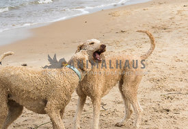 Standard size doodle dogs, light colored wearing collars and mouths open and playing.