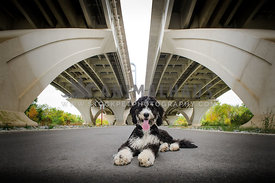 bernadoodle laying under bridge
