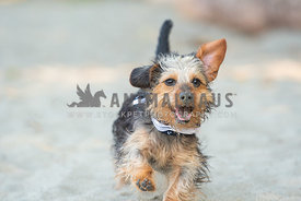 close up of dachshund yorkie mix running on beach covered in sand