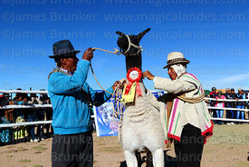 Community leader ties a rosette on the neck of a winning llama during competition, Curahuara de Carangas, Bolivia