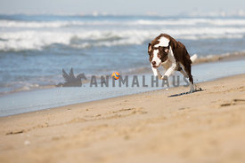 dog fetching ball on the beach