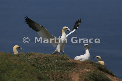Adult Northern Gannet (Morus bassanus) about to take off, watched by others in the colony, Bempton Cliffs (RSPB), East Riding...