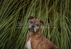 Brindle Boxer mix in pampas grass