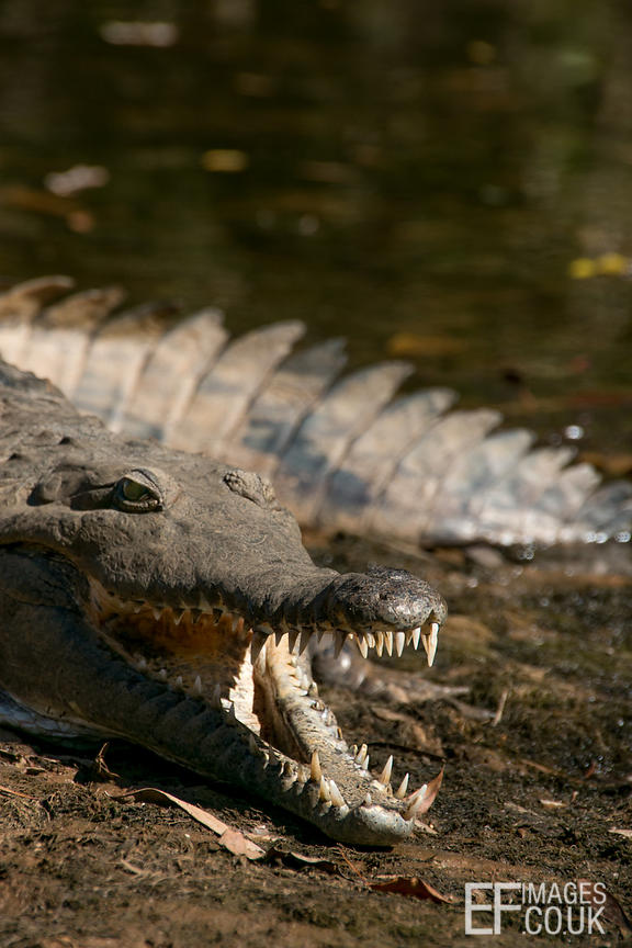 Freshwater Crocodile Lurking Under Trees