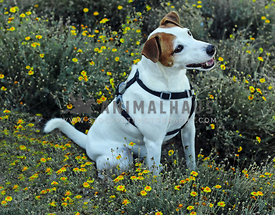 Jack Russel mix in field of yellow flowers