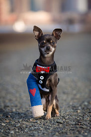 chihuahua broken leg with cast and bowtie