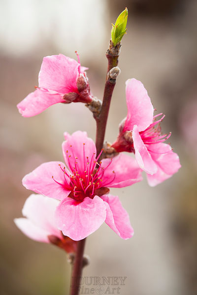 Peach Blossoms & Leaf Bud - Vertical