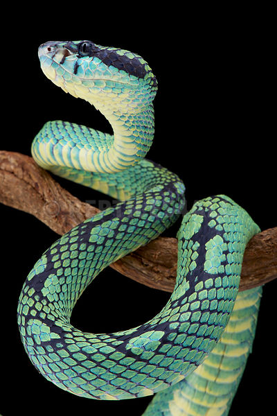 Reptiles4all The Sri Lankan Pit Viper Trimeresurus Trigonecephalus