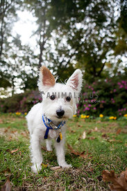 white terrier in nature