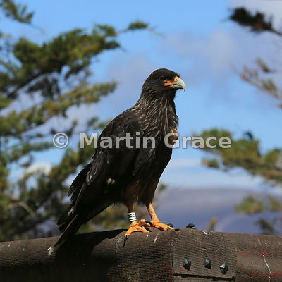 Striated Caracara (Phalcoboenus australis) with white leg band H1, Carcass Island, Falkland Islands