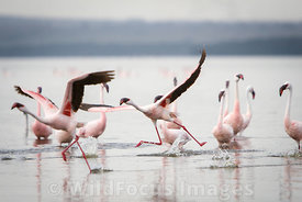 Lesser Flamingos taking flight(Phoenicopterus minor) , Lake Nakuru National Park, Kenya; Landscape