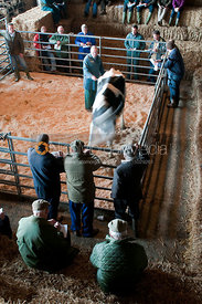 The auction ring during a dairy cattle sale
