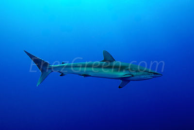 Silk shark in blue waters