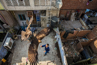 Black kites (Milvus migrans) flying above man as he throws food skyward from a rooftop. Old Delhi, India. February 2016.