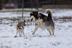 husky and beagle playing rough