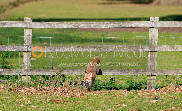 A young Red Fox cub, vulpes vulpes - Royalty Free Image
