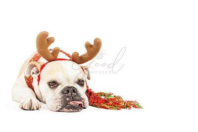 Tired Christmas Reindeer Dog With Copy Space
