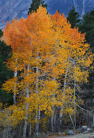 Aspens in a blaze of orange and yelow