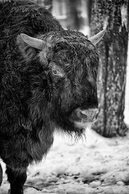European Bison (Zubr) in the snow (Black and White)