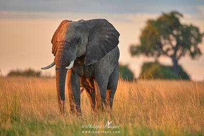 Female elephant in golden light