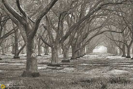 Walnut Orchards #4 - Black & White
