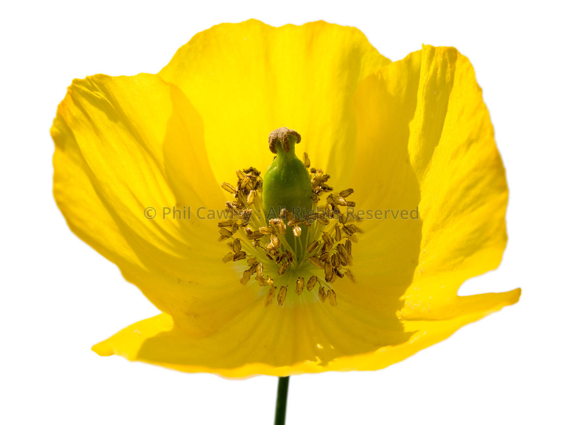 Small Poppy flower