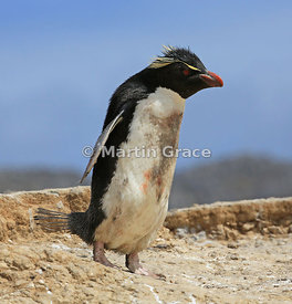 Soiled Southern Rockhopper Penguin (Eudyptes chrysocome chrysocome) heading from the colony towards the sea, Cape Coventry, P...
