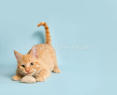 playful orange tabby kitten