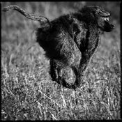 0222-Baboon_in_suspension_Kenya_2006_Laurent_Baheux