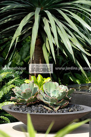 Jardin exotique, Jardin contemporain. Potée design : Echeveria, succulente. Dracaena draco, Dragon tree. Designers : David Cu...