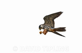 Hobby Falco subbuteo Norfolk May