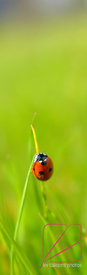 A ladybug announces the Spring