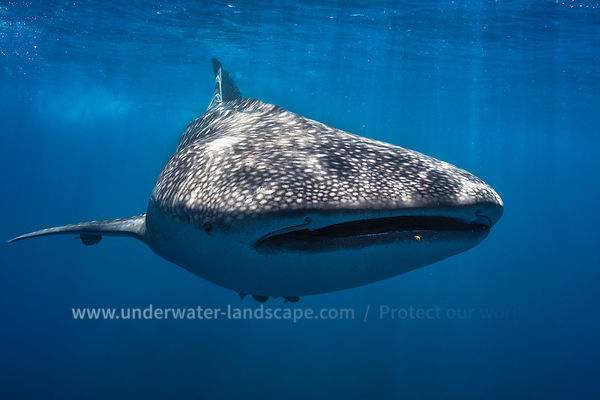 Whale shark close up - Nosy Be