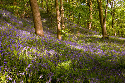 Bluebells in the Peak District