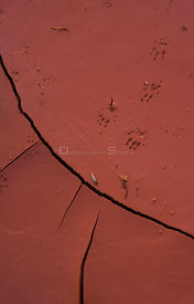 Tracks in cracked, dry mud, Arizona, USA