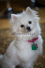 white fluffy pomerainian with tags and colar