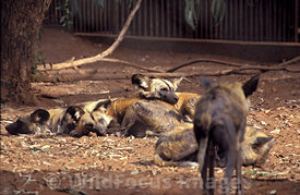 African Hunting Dogs, Rabat Zoo, Rabat, Morocco, Landscape