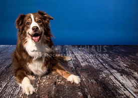austrailian shepherd smiling on wood floor blue background studio