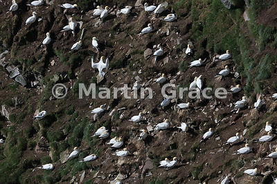 Colony of nesting Northern Gannets (Morus bassanus) on the cliffs of Hermaness National Nature Reserve, Unst, Shetland