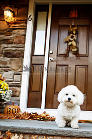 bichon on front porch during halloween