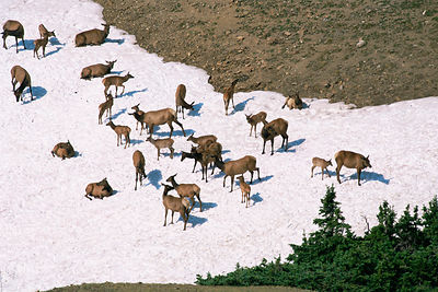 Elk {Cervus canadensis} herd on snow on alpine tundra, Colorado, USA