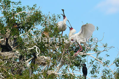 Pair of African Spoonbills (Platalea alba) displaying to each other as one partner returns to the nest, River Chobe, Botswana