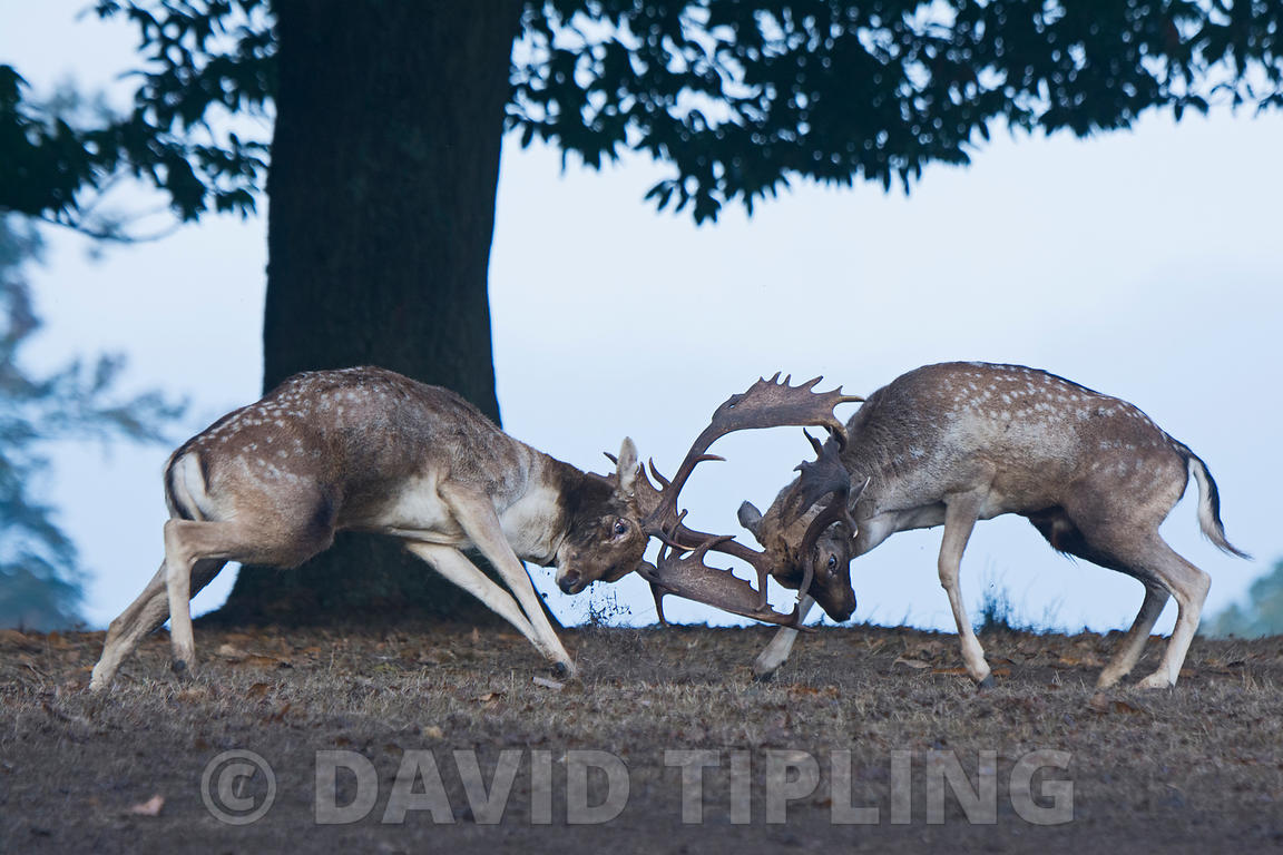 Fallow Deer Dama dama bucks fighting during rut Sevenoaks Kent October