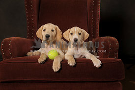 Two lab puppies wiating to play in red chair