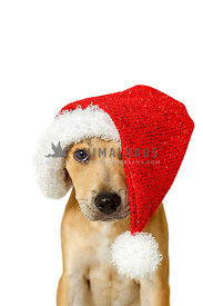 Tan puppy on white background wearing red santa hat