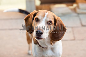 beagle with head tilt on interlocking brick