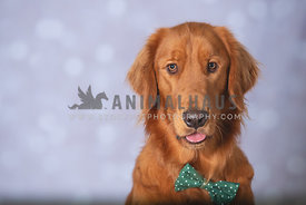 close up of golden retreiver wearing green bow tie