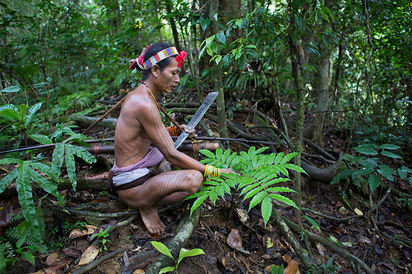 Amantari, 39, presents a plant, Galanga or Chinese ginger (Alpinia officinarum) used to cure stomach problems, Pulau Siberut,...